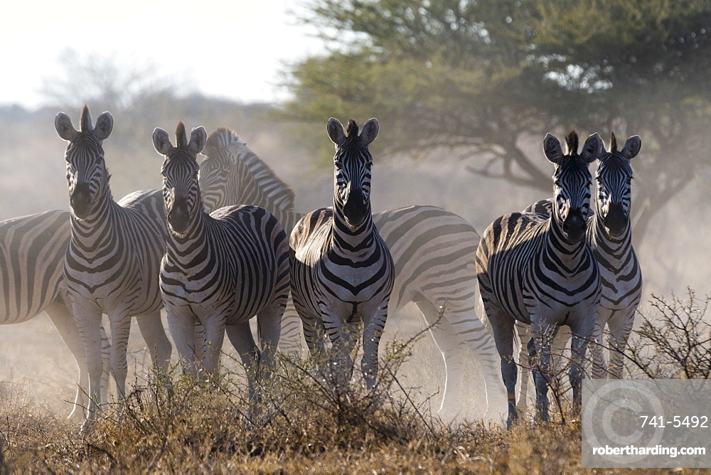 Burchell's zebra (Equus quagga burchellii) looking at the camera, Botswana, Africa