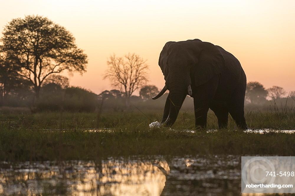 An African elephant (Loxodonta africana) walking in the Khwai River at sunset, Botswana, Africa