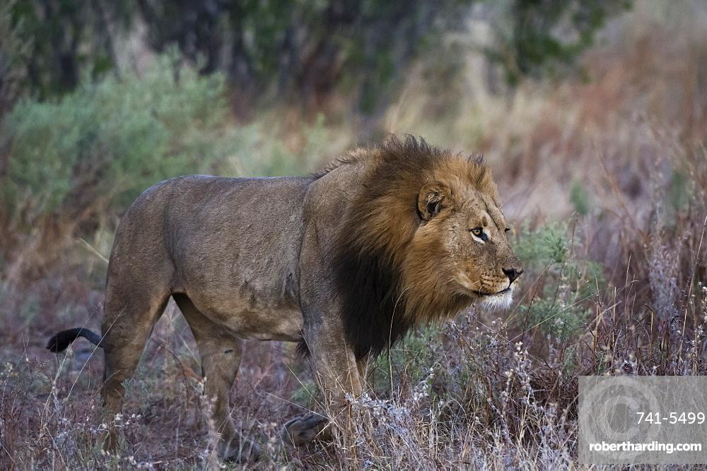 A male lion (Panthera leo) patrolling, Botswana, Africa