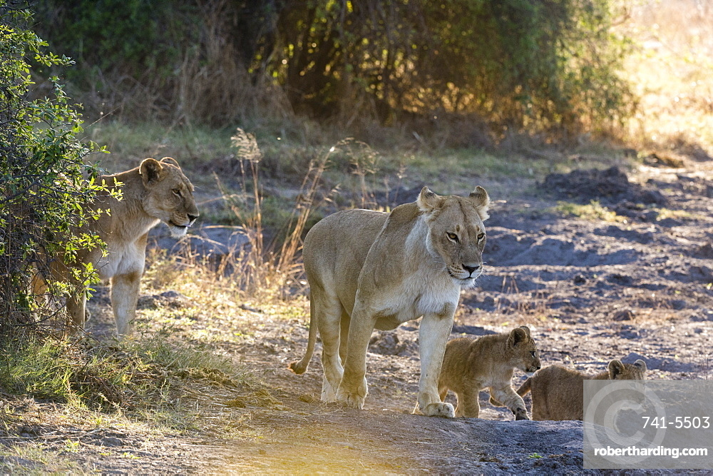 Lions (Panthera leo), Khwai Conservation Area, Okavango Delta, Botswana.