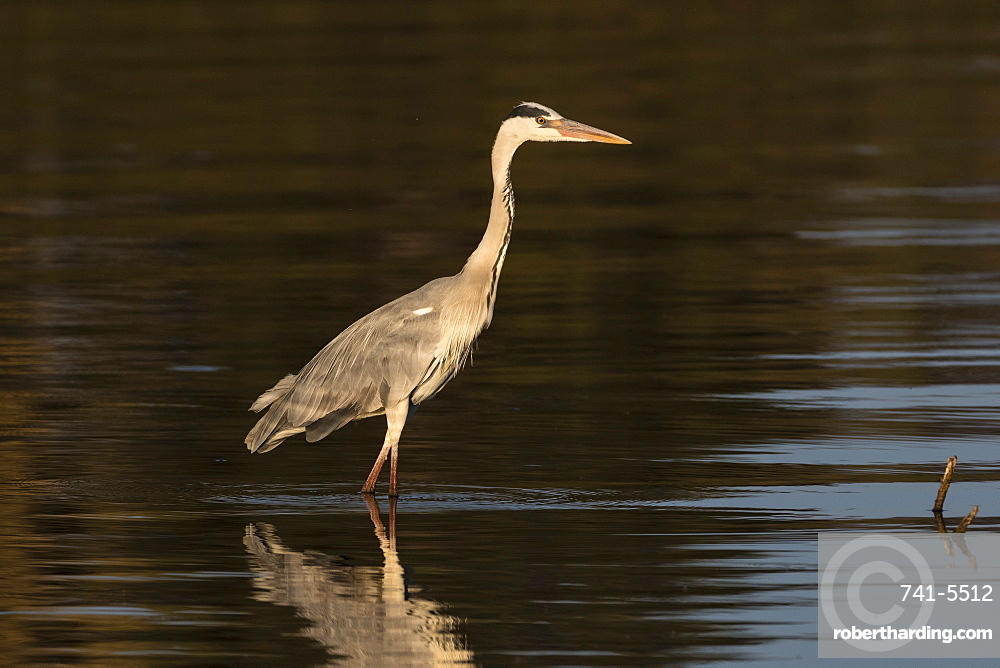 A grey heron (Ardea cinerea) in the River Khwai, Botswana, Africa