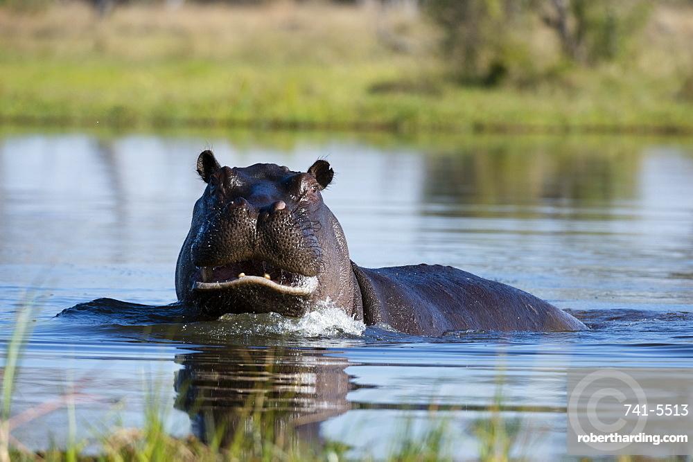 Hippopotamus (Hippopotamus amphibius), Khwai Conservation Area, Okavango Delta, Botswana.