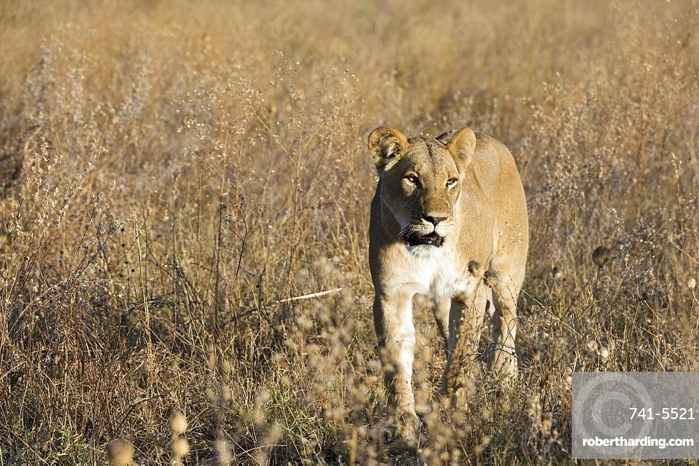 Lion (Panthera leo), Savuti, Chobe National Park, Botswana.