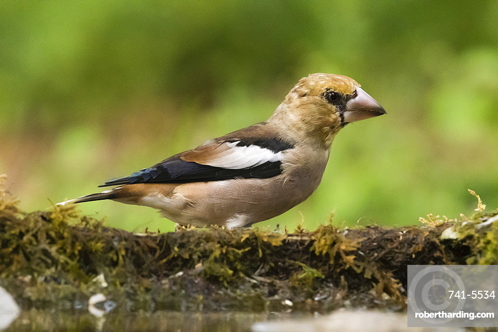 A hawfinch, Coccothraustes coccothraustes.