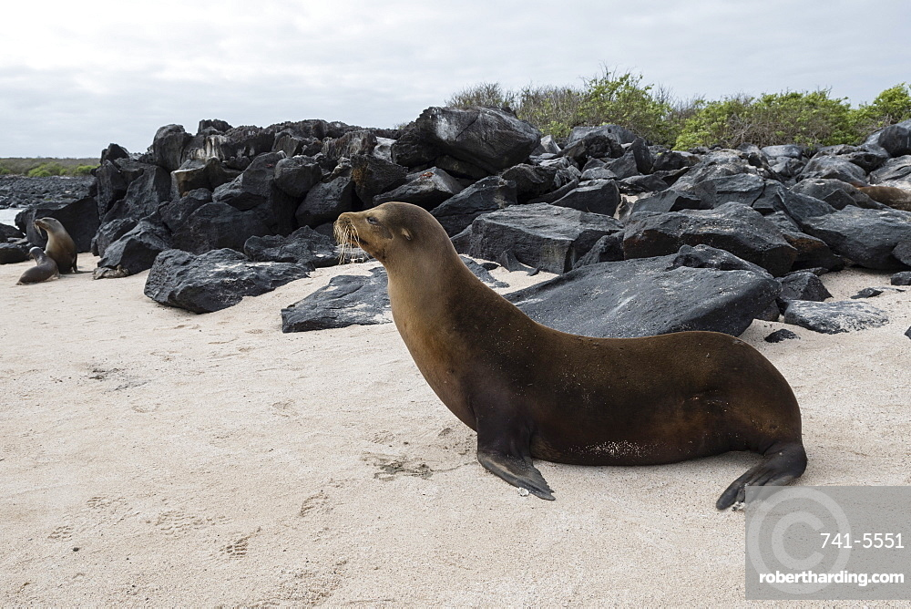 Galapagos Sea Lion (Zalophus californianus wollebaeki), Punta Suarez, Espanola Island, Galapagos Islands, UNESCO World Heritage Site, Ecuador, South America