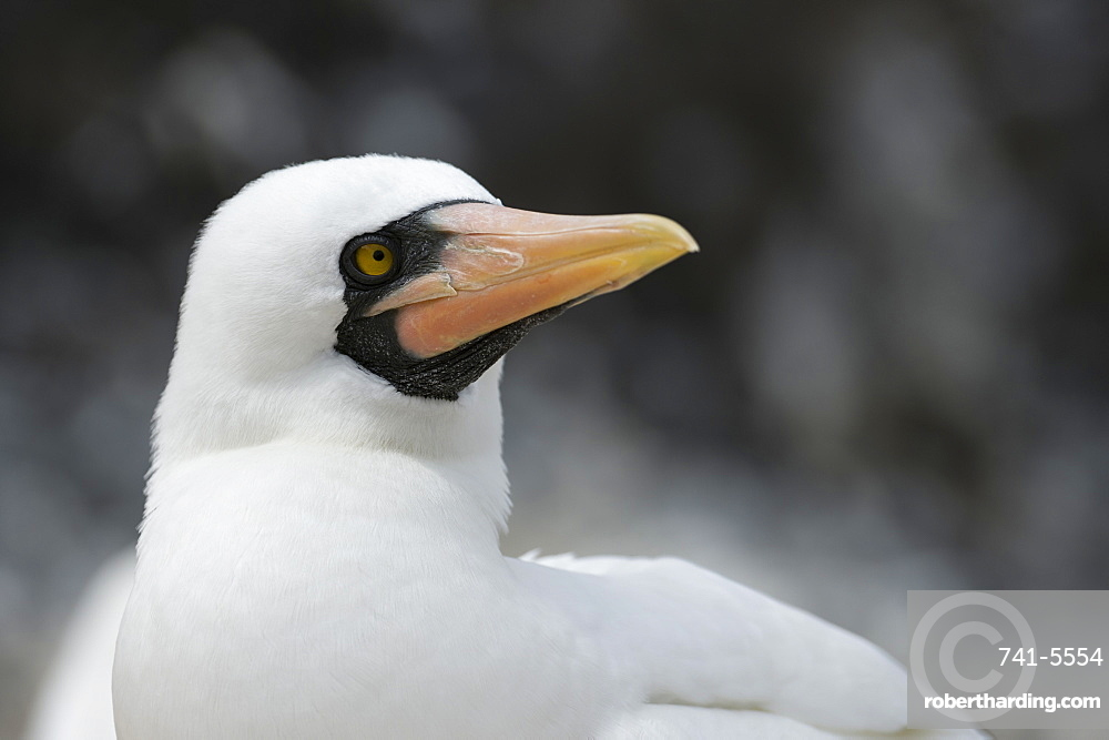 Nazca booby (masked booby) (Sula dactylatra granti), Punta Suarez, Espanola Island, Galapagos Islands, UNESCO World Heritage Site, Ecuador, South America