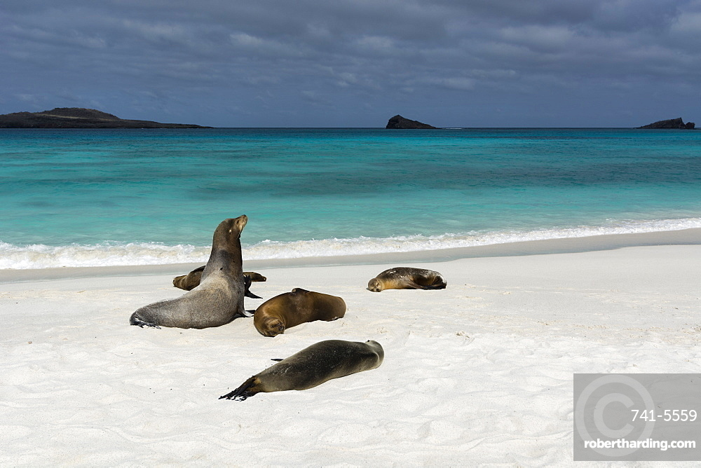 Galapagos Sea Lions (Zalophus californianus wollebaeki), Gardner Bay, Espanola Island, Galapagos Islands, UNESCO World Heritage Site, Ecuador, South America