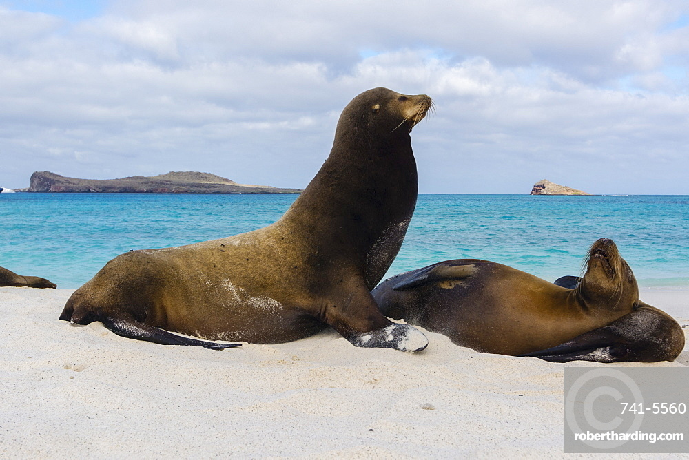 Galapagos sea lions (Zalophus californianus wollebaeki), resting on a sandy beach, Espanola Island, Galapagos Islands, UNESCO World Heritage Site, Ecuador, South America