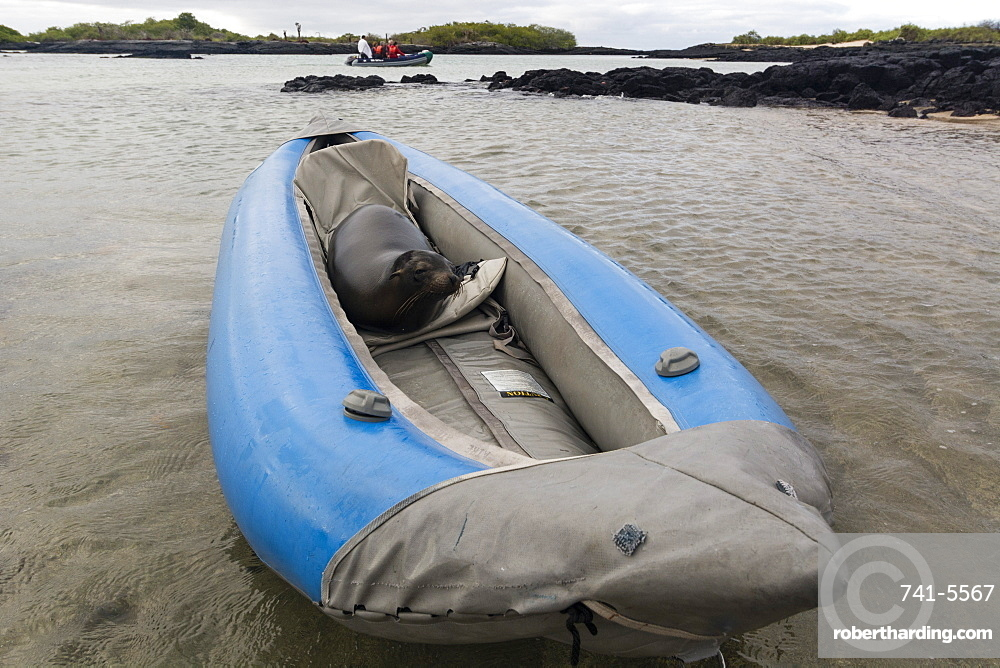 Galapagos Sea Lion (Zalophus californianus wollebaeki), resting on a kayak, Post Office Bay, Floreana Island, Galapagos Islands, UNESCO World Heritage Site, Ecuador, South America