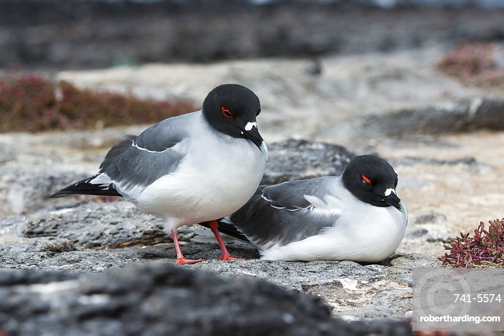 Swallow-tailed gulls (Larus furcatus), South Plaza Island, Galapagos Islands, UNESCO World Heritage Site, Ecuador, South America