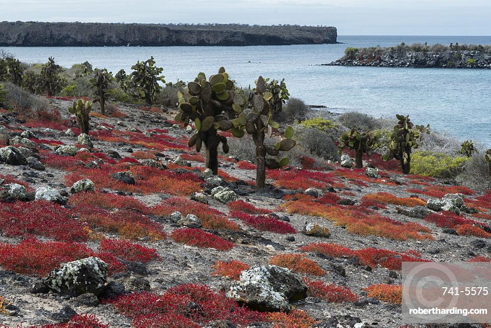 Sesuvium edmonstonei and cactus (Opuntia sp.), South Plaza Island, Galapagos Islands, UNESCO World Heritage Site, Ecuador, South America