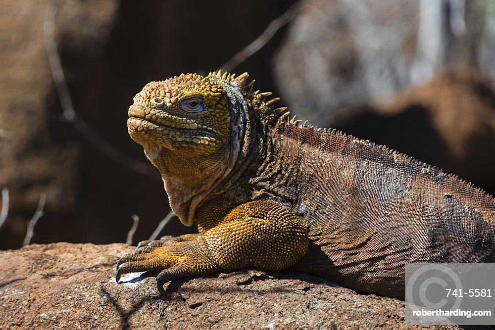 Land Iguana (Conolophus subcristatus), North Seymour Island, Galapagos Islands, UNESCO World Heritage Site, Ecuador, South America