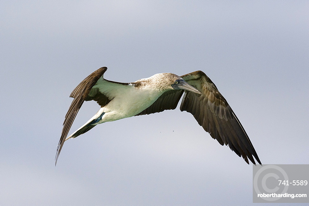 A blue-footed booby (Sula nebouxii) in flight, Galapagos Islands, Ecuador, South America