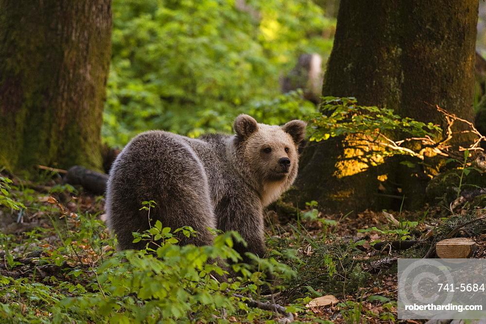 European brown bear (Ursus arctos), Notranjska forest, Slovenia, Europe