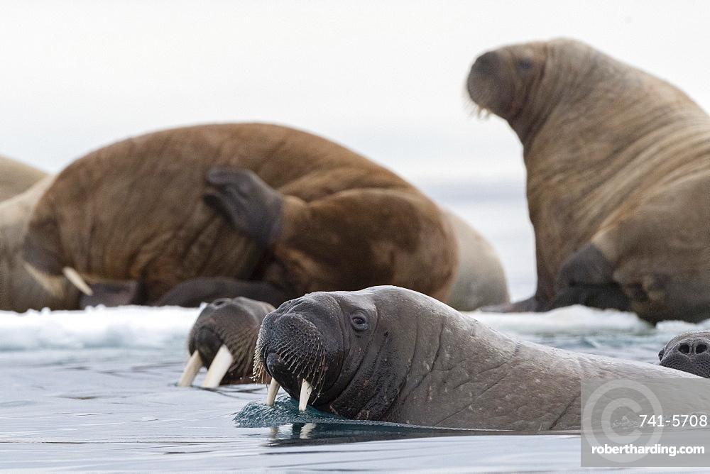 Atlantic walruses (Odobenus rosmarus), Vibebukta, Austfonna, Nordaustlandet, Svalbard Islands, Arctic, Norway, Europe