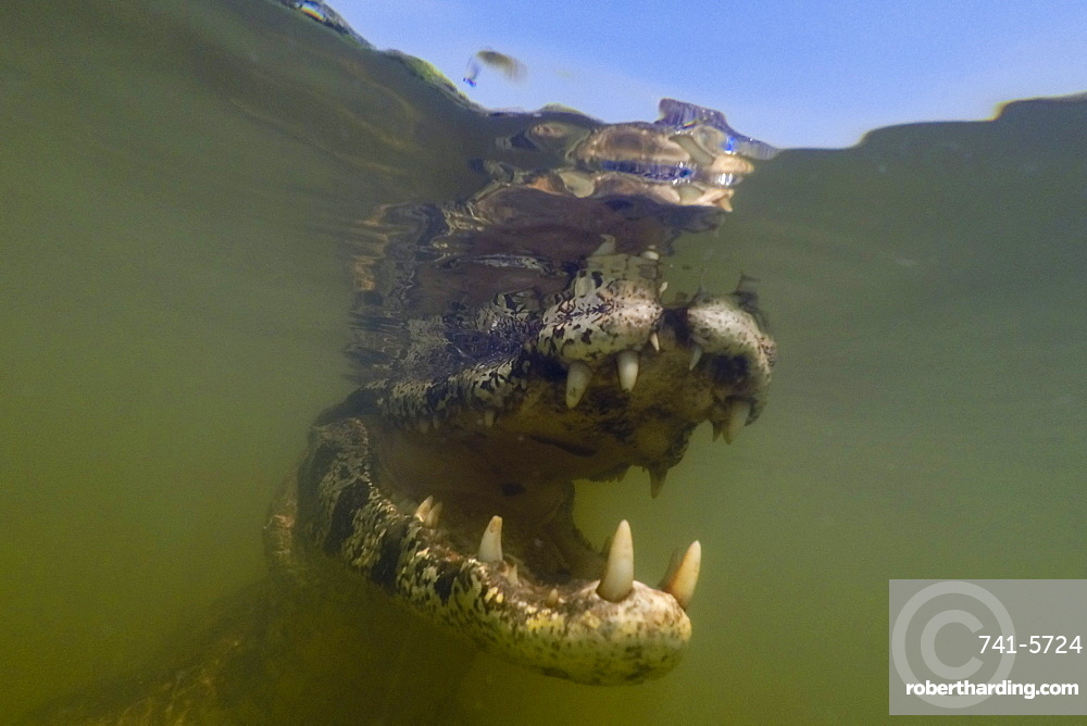 Close up underwater portrait of a jacare caiman, Caiman yacare, in the Rio Claro.