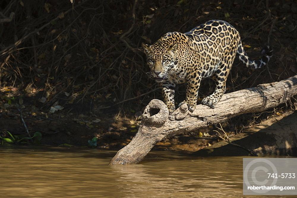 A jaguar, Panthera onca, walking on a fallen tree.