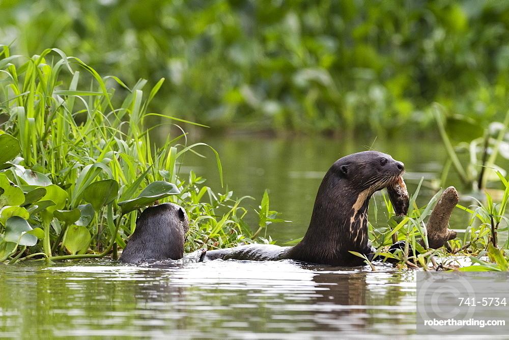Giant otter (Pteronura brasiliensis), Pantanal, Mato Grosso, Brazil.