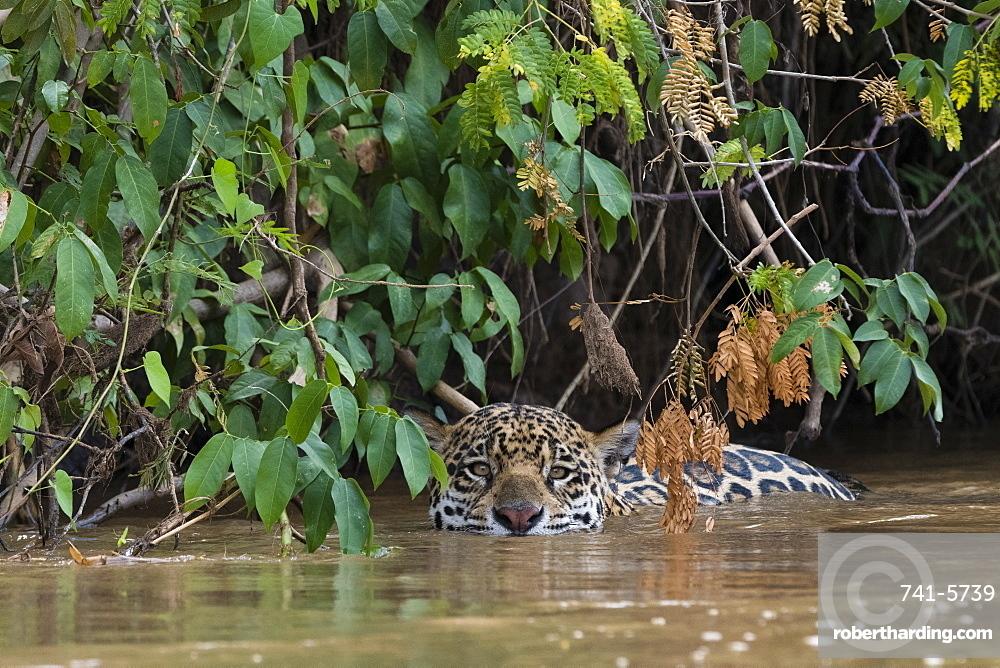 A jaguar, Panthera onca, hiding along the river bank.