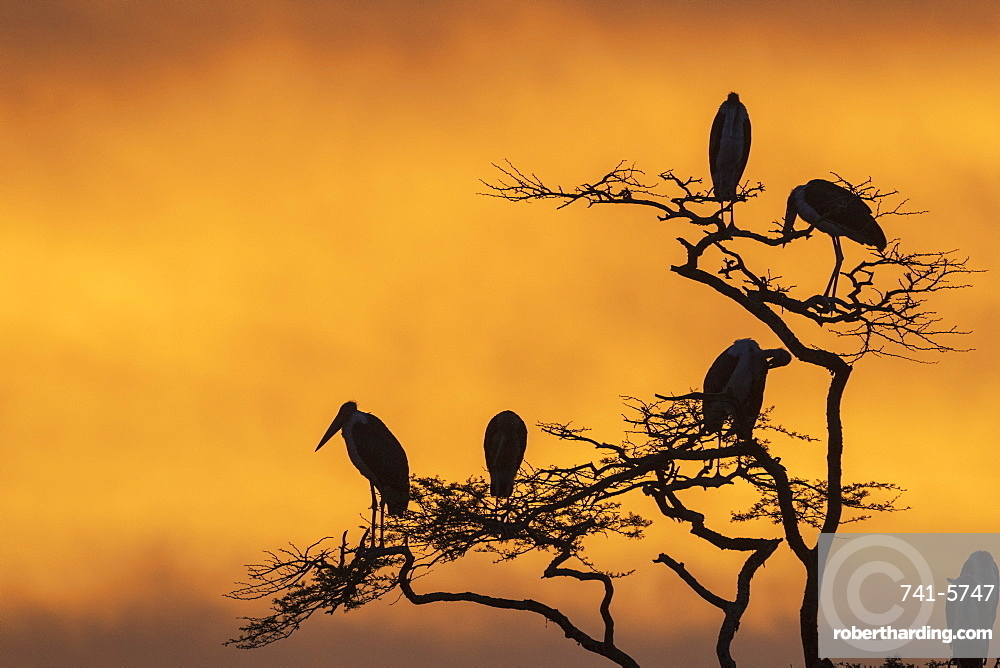 Marabou storks (Leptoptilos crumeniferus) perching on a tree at sunrise, Tanzania, East Africa, Africa