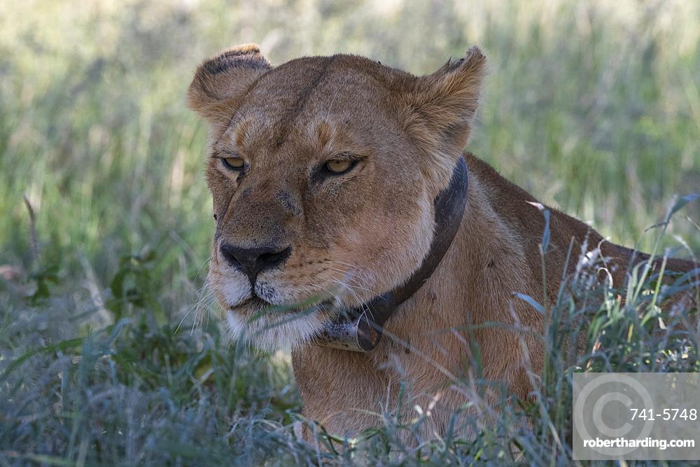 Lioness (Panthera leo), Seronera, Serengeti National Park, Tanzania.