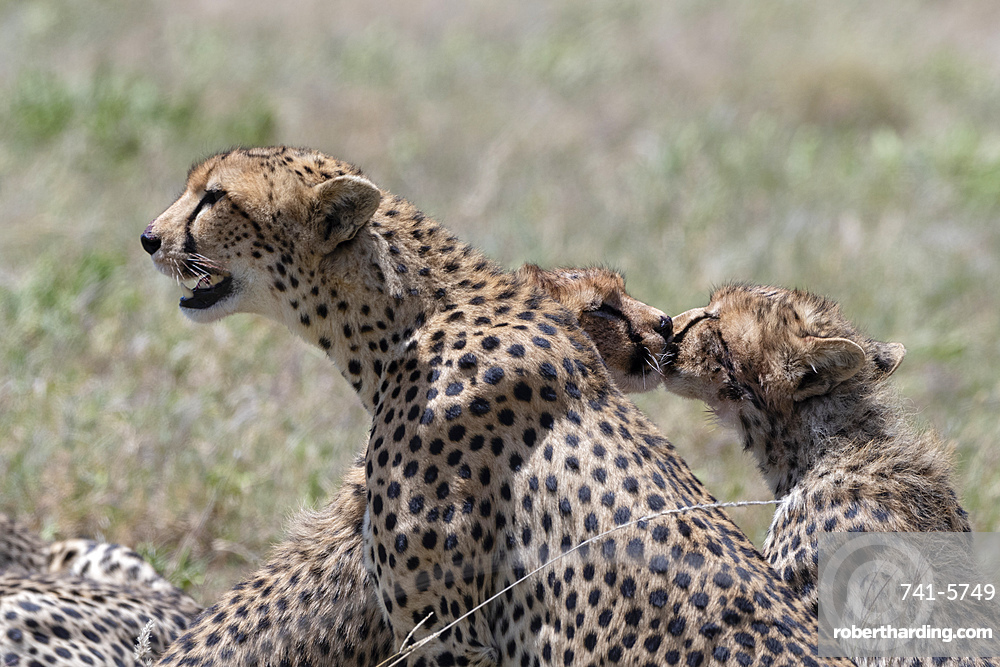 A female cheetah, Acybonix jubatus, with its two cubs.