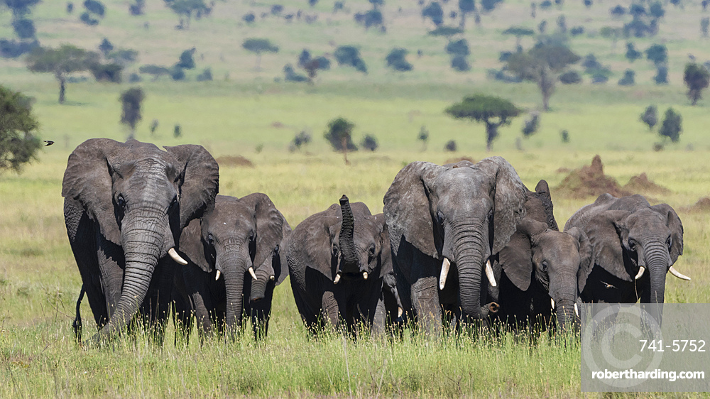 African elephant herd, Loxodonta africana, walking in the Serengeti.