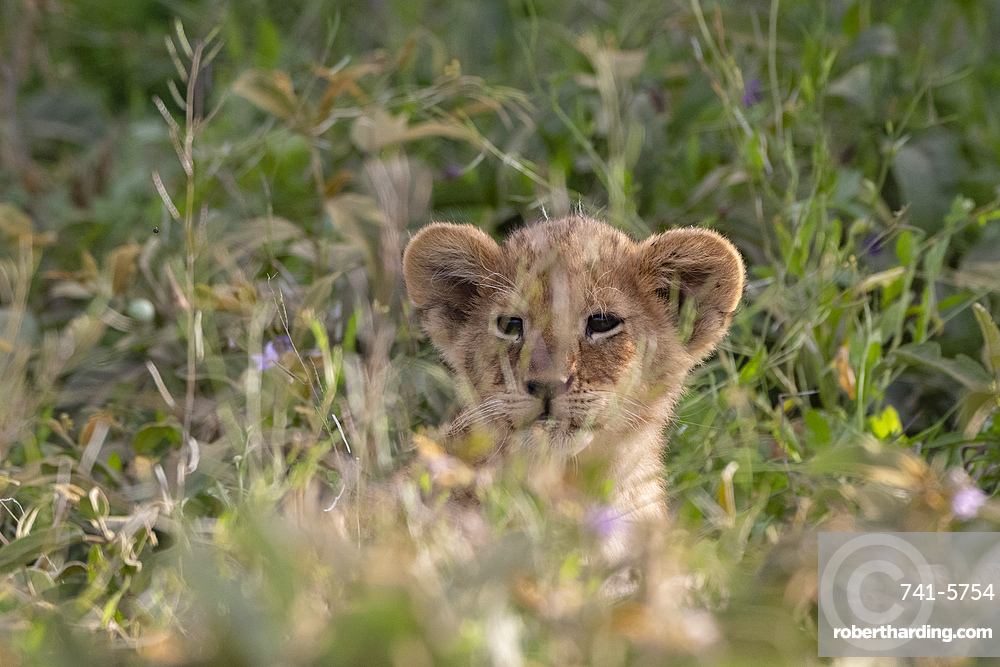 A lion cub, Panthera leo, hiding in the grass.