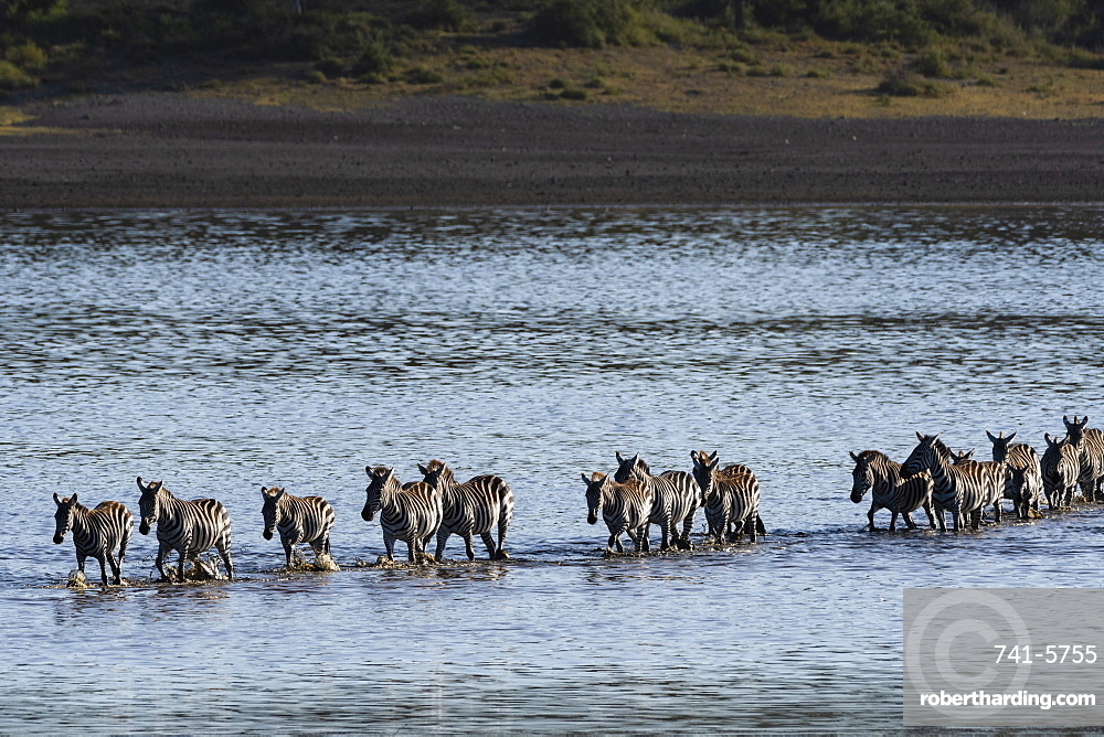Common zebras (Equus quagga) crossing the lake Ndutu, Ngorongoro Conservation Area, Serengeti, Tanzania.