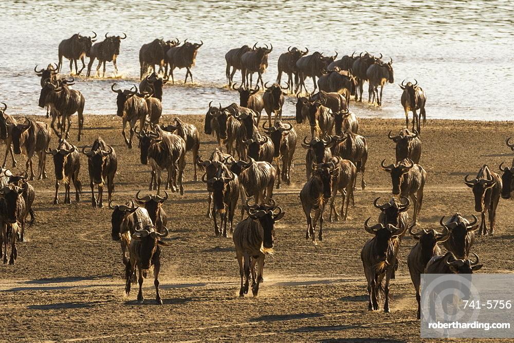 Migrating wildebeest (Chonnochaetes tautinus) crossing Lake Ndutu, Serengeti, UNESCO World Heritage Site, Tanzania, East Africa, Africa