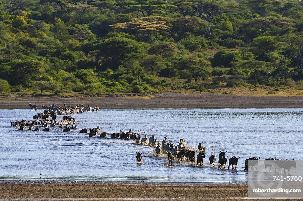 Migrating plains zebras, Equus quagga, and wildebeests, Connochaetes taurinus, crossing the lake Ndutu.