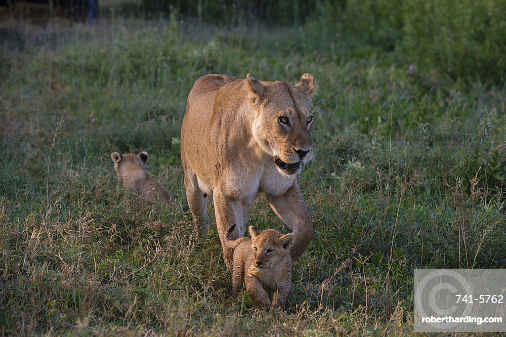 A female lioness (Panthera leo) walking with her 45-50 day old cubs, Tanzania, East Africa, Africa