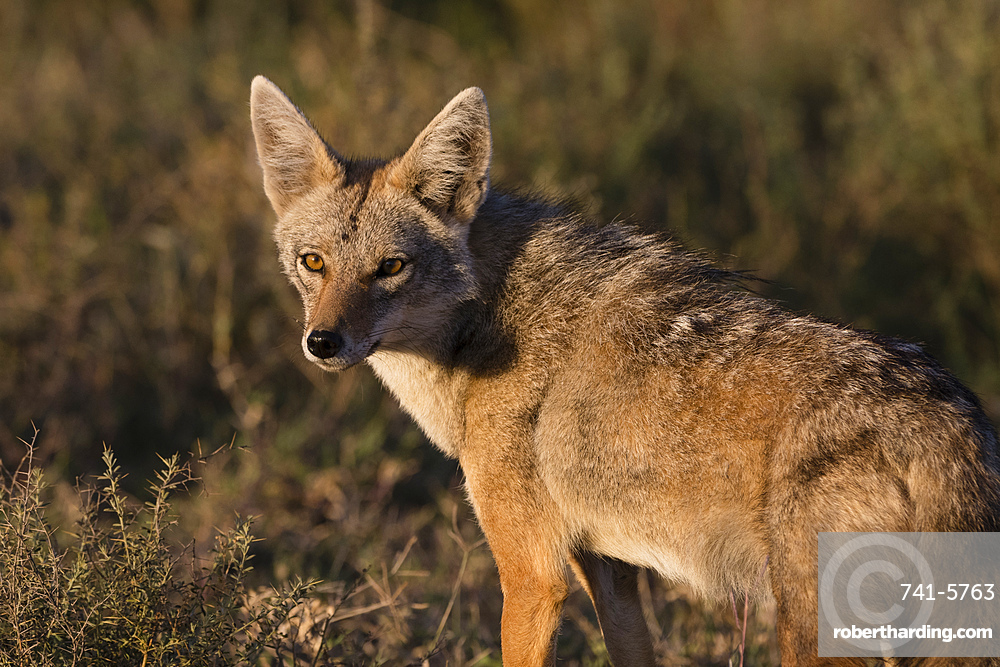 Golden jackal (Canis aureus), Ndutu, Ngorongoro Conservation Area, Serengeti, Tanzania.