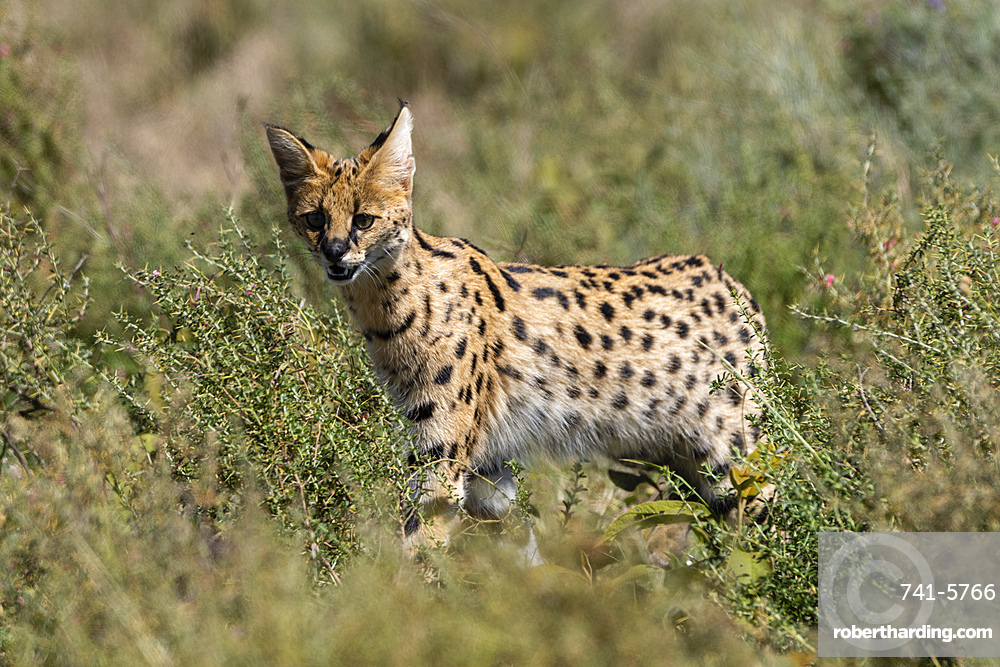 Serval (Leptailurus serval), Ndutu, Ngorongoro Conservation Area, UNESCO World Heritage Site, Tanzania, East Africa, Africa