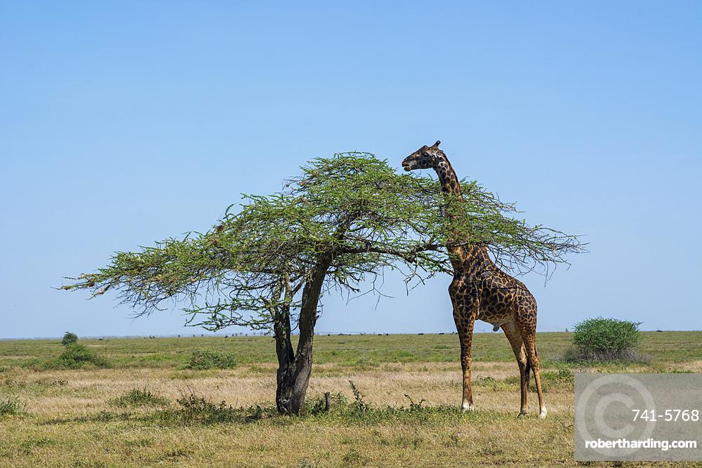Masai giraffe (Giraffa camelopardalis tippelskirchi), Ndutu, Serengeti UNESCO World Heritage Site, Tanzania, East Africa, Africa