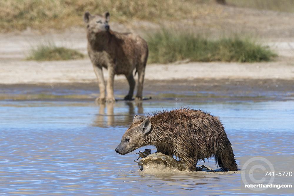Spotted hyaenas, Crocura crocuta, walking in the water.