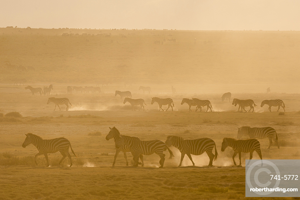 Plains zebras, Equus quagga, walking in dust at sunset the Hidden Valley.