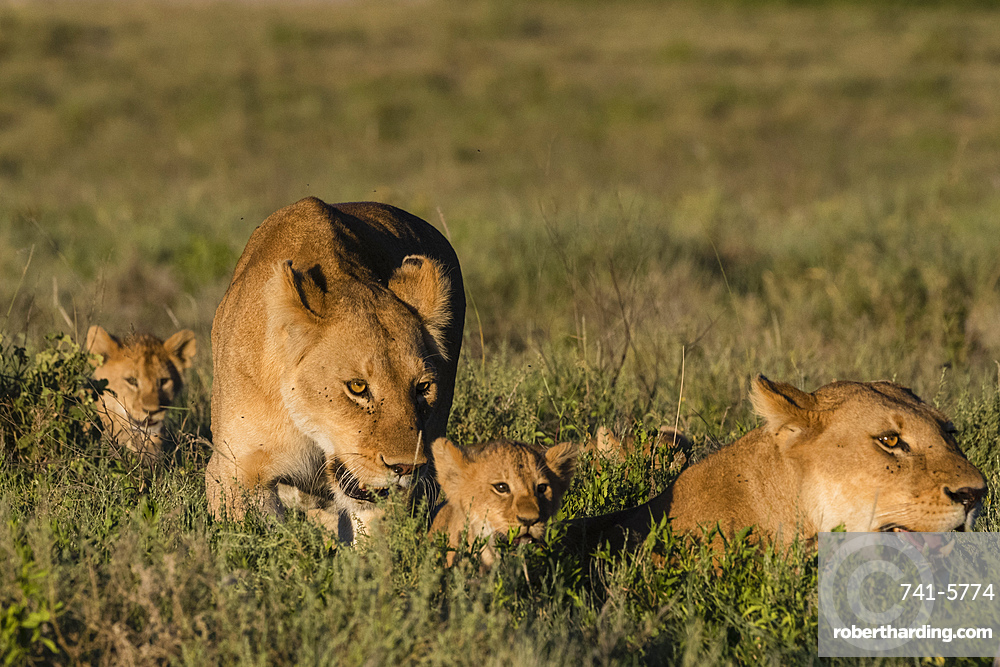 Two lionesses, Panthera leo, and two 5 weeks old cubs in the grass.