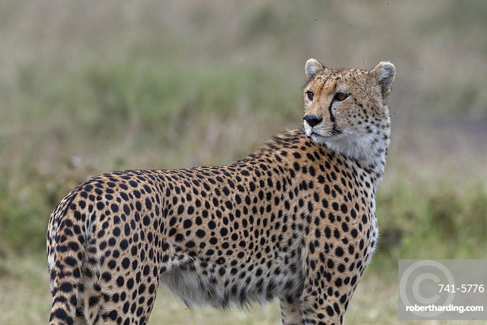 Cheetah (Acynonix jubatus), Seronera, Serengeti National Park, Tanzania.