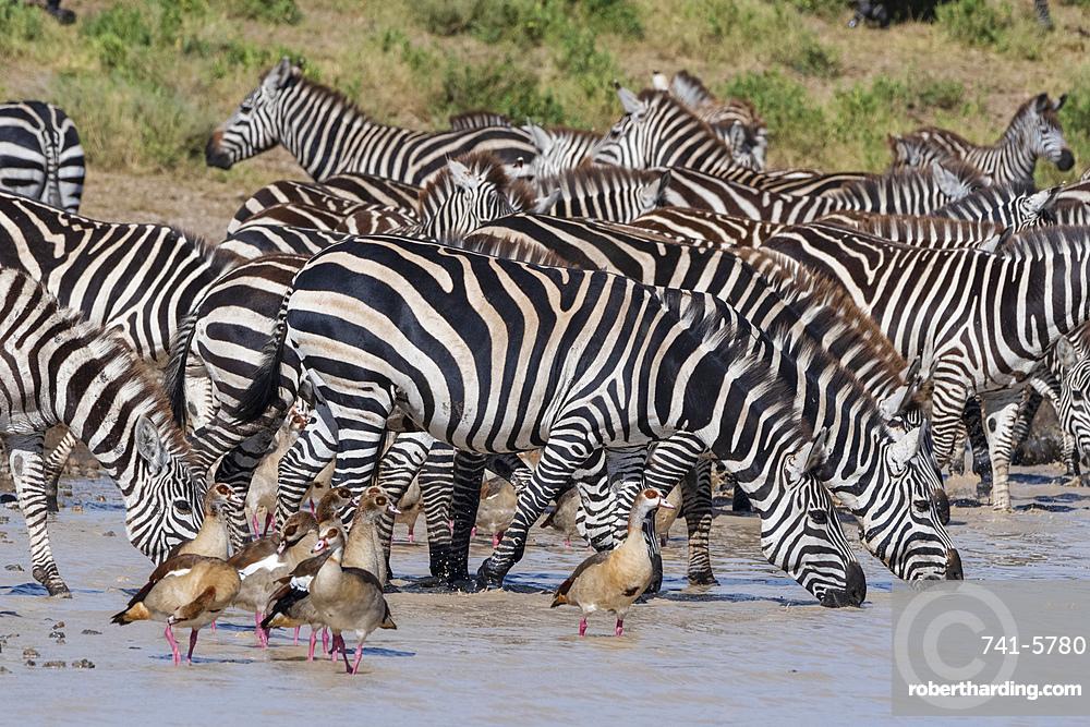 Plains zebras (Equus quagga), Ndutu, Serengeti, UNESCO World Heritage Site, Tanzania, East Africa, Africa