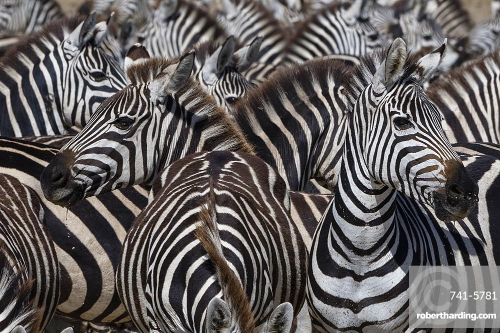 A herd of plains zebras, Equus quagga, in the Hidden Valley.