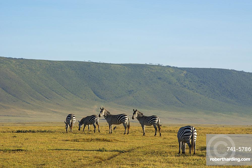 Common zebras (Equus quagga) in the Ngorongoro crater, Ngorongoro Conservation Area, Serengeti, Tanzania.