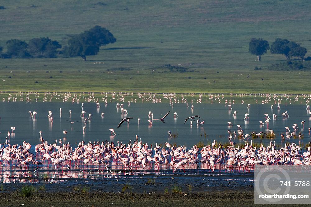 Lesser flamingos, Phoenicopterus minor, feeding on crater lake.