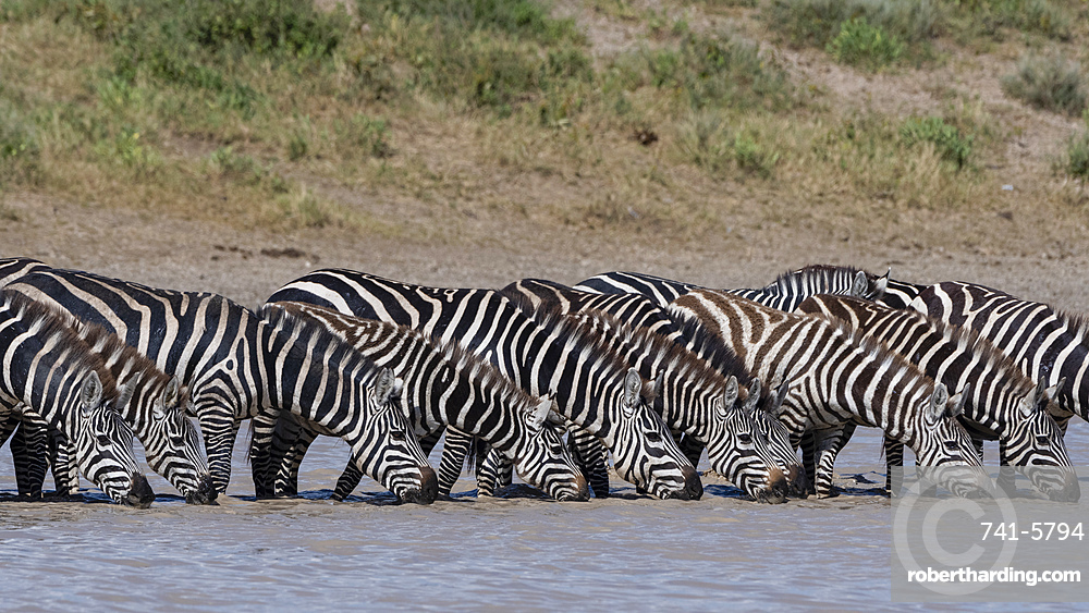 A herd of plains zebras, Equus quagga, drinking at Hidden Valley lake.