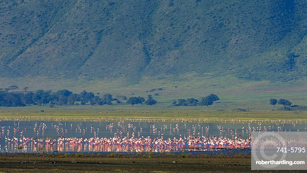 Lesser flamingos, Phoenicopterus minor., feeding on crater lake.