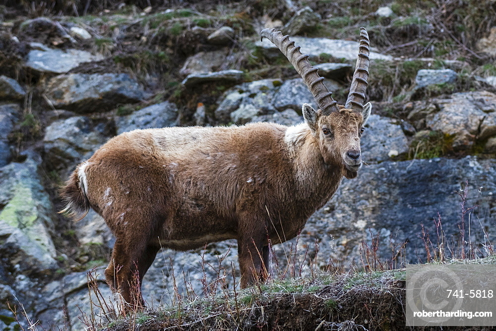 Alpine ibex (capra ibex), Valsavarenche, Gran Paradiso National Park, Aosta Valley, Italy.