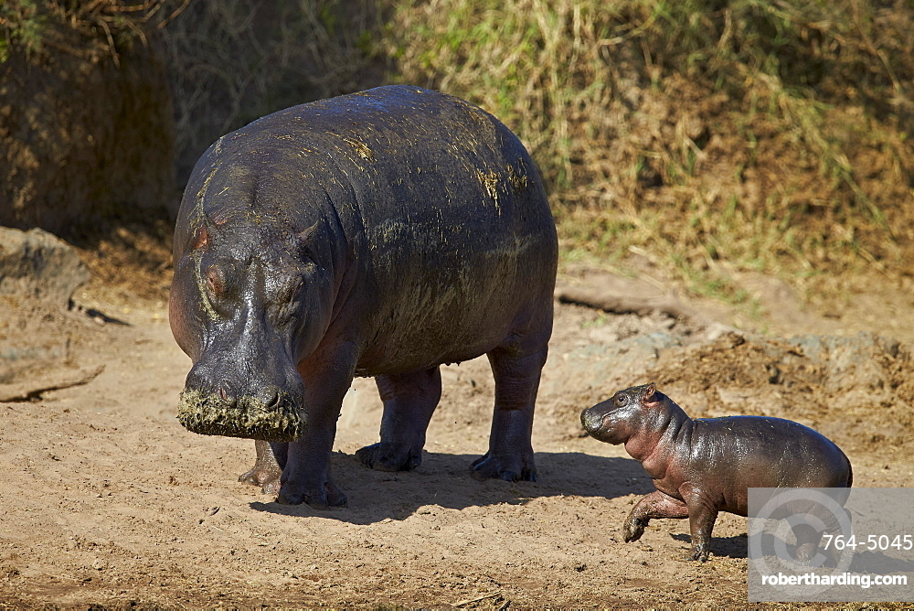 Hippopotamus (Hippopotamus amphibius) mother and baby out of the water, Serengeti National Park, Tanzania, East Africa, Africa