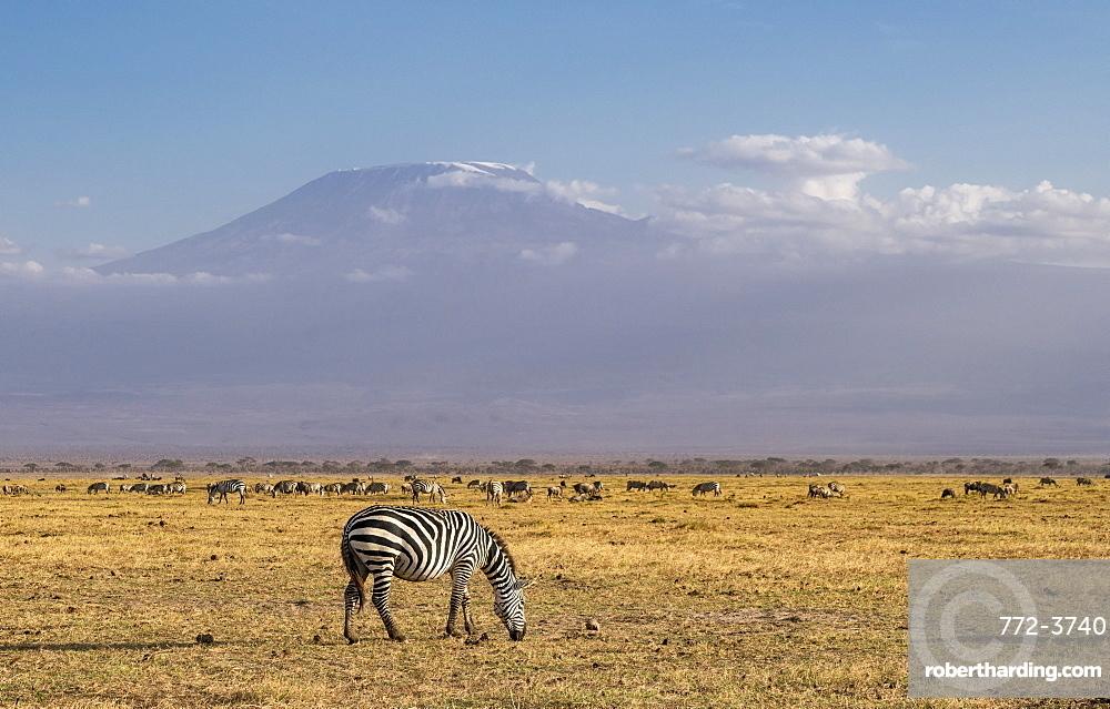 Zebra and Mount Kilimanjaro in Amboseli National Park, Kenya, East Africa, Africa