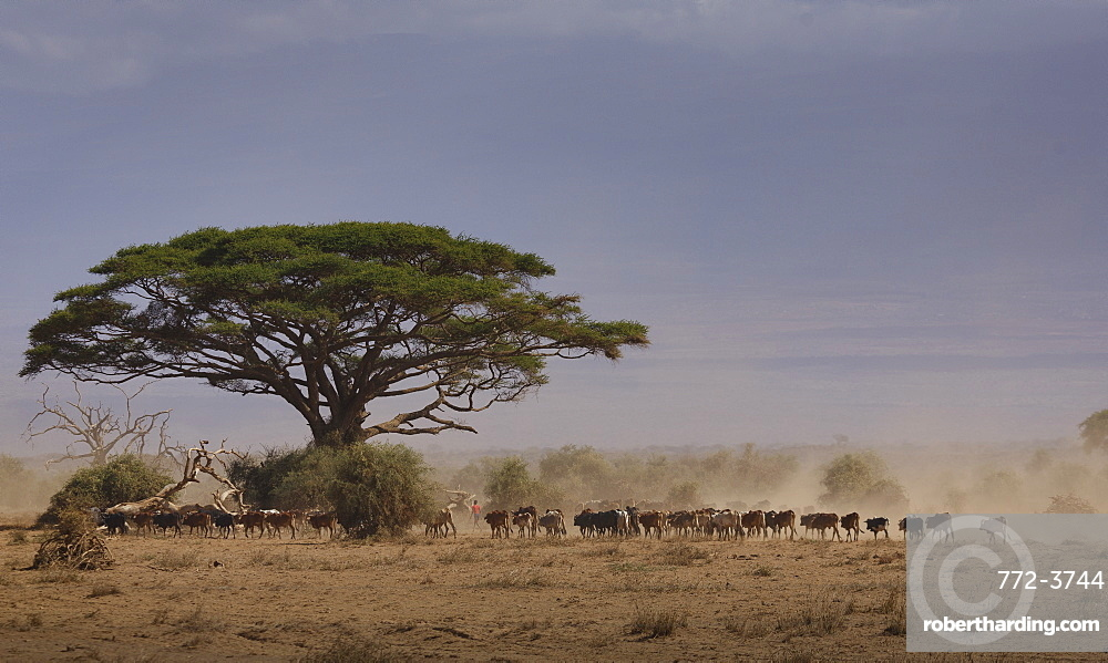 Cattle returning from a drinking pond (waterhole) in Amboseli National Park, Kenya, East Africa, Africa