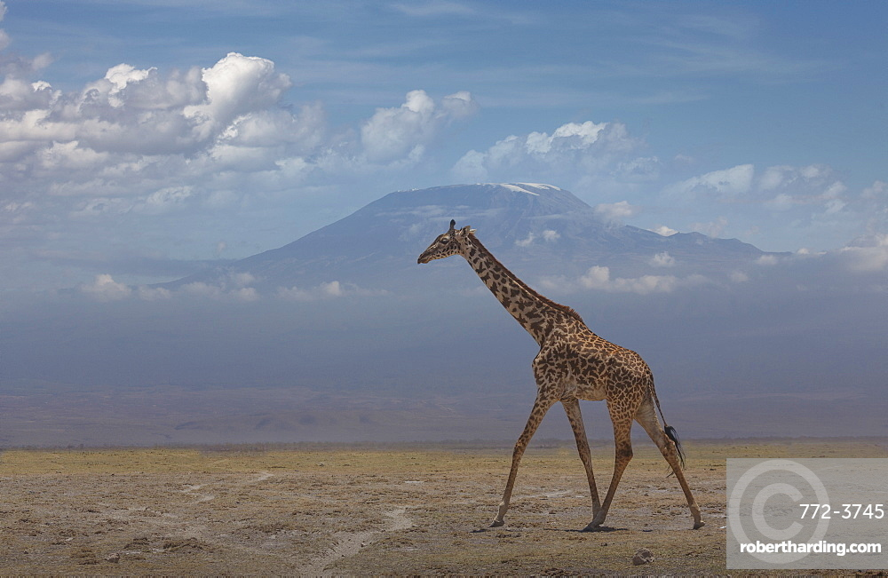 Giraffe under Mount Kilimanjaro in Amboseli National Park, Kenya, East Africa, Africa